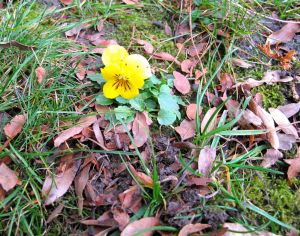 A lonely December pansy