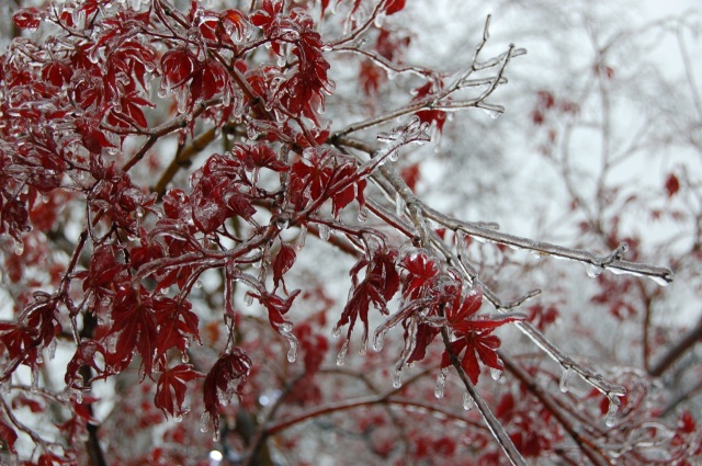 Frozen maple