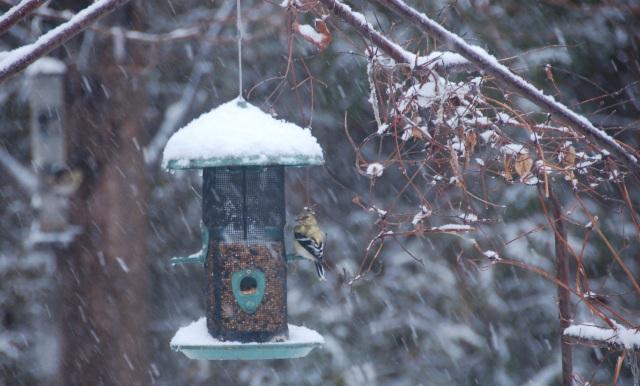 Snowy finch