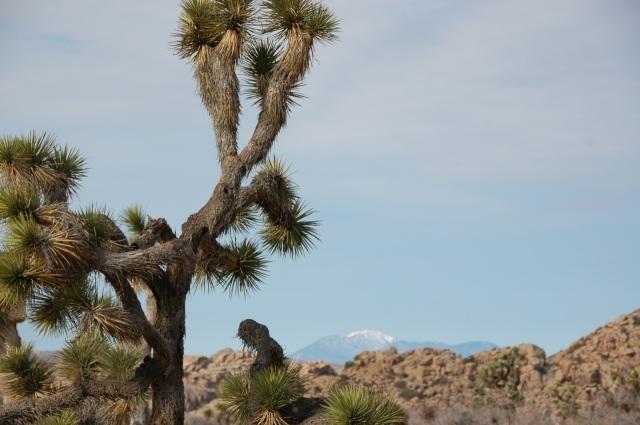 Joshua Tree and snow mountain