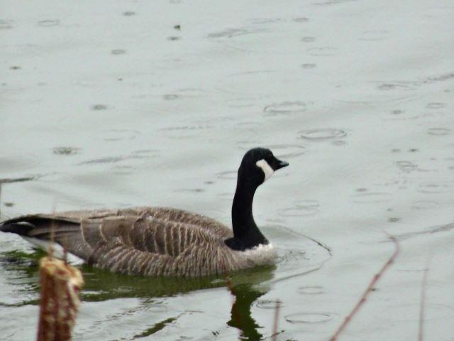 Goose in rain