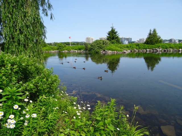 Ducks at Kempenfelt Bay