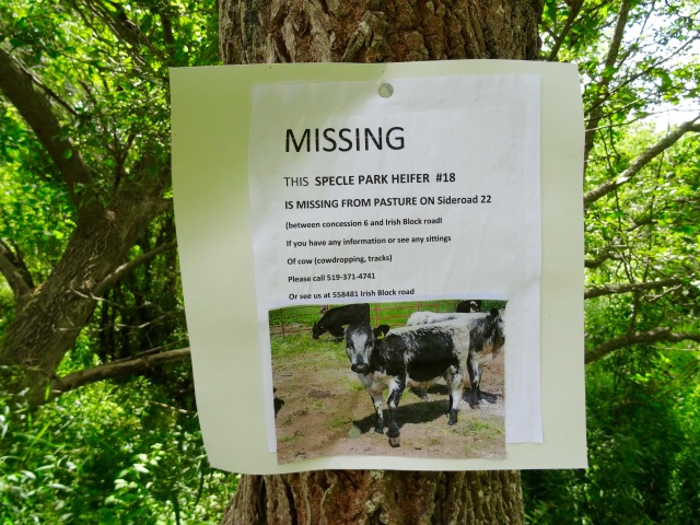 Missing cow
