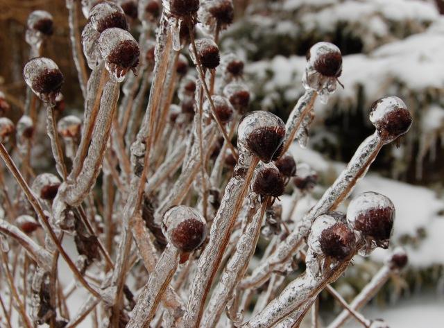 Icy seedheads