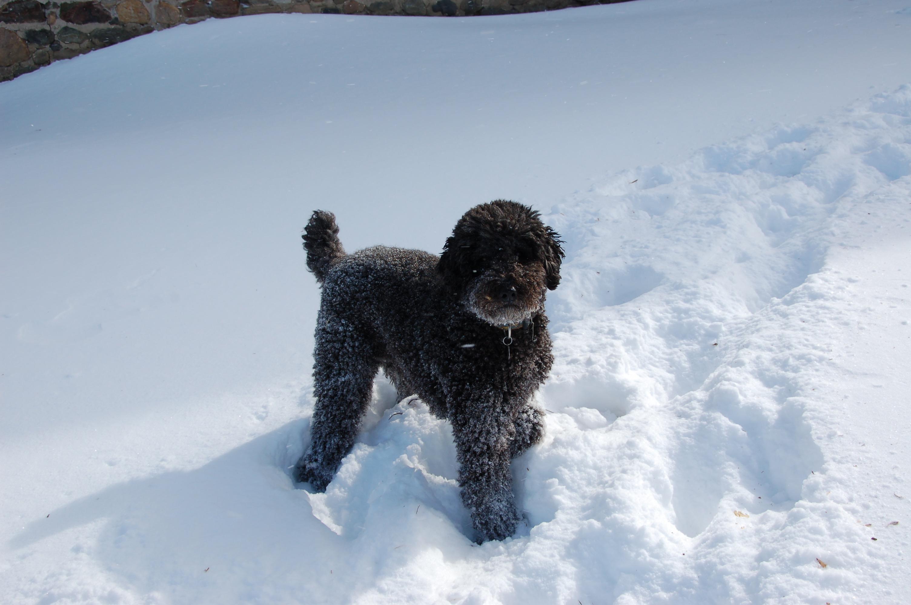 snowy Ivy