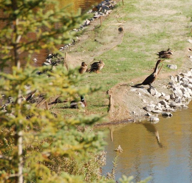 migrating cormorant